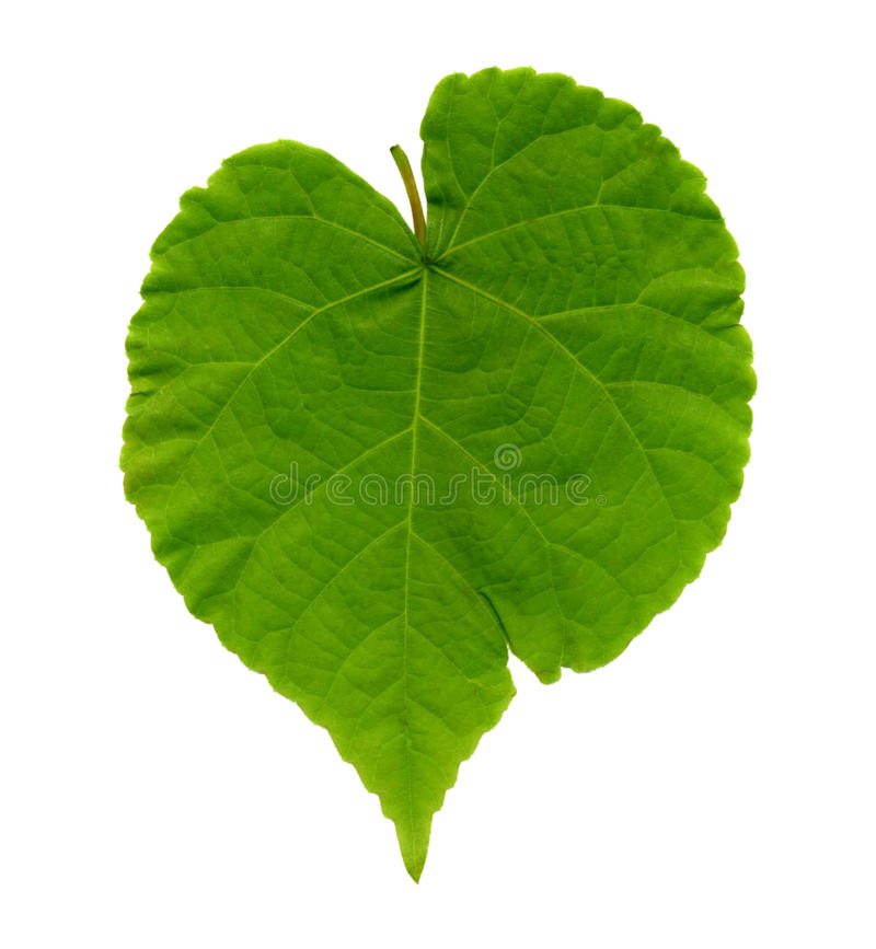 Green leave. On white background stock photography
