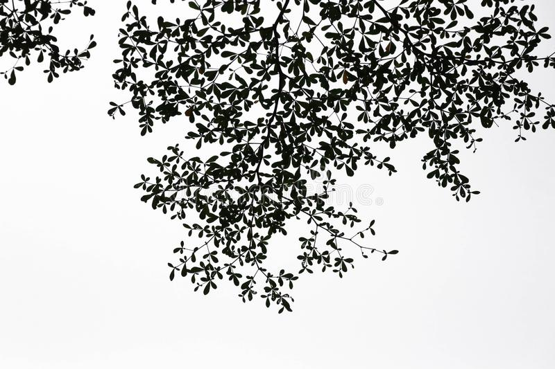 Download green leave black color on branch white background stock image image of forest