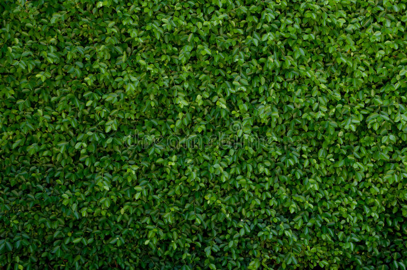 Green leave cover the wall. Fast grown green leave cover the wall royalty free stock photo