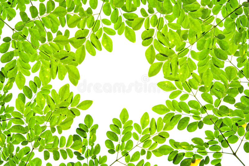 Green leave pattern texture on white background. Copy space stock photo