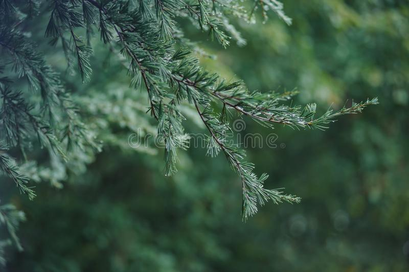 Green leafs pine tree with drop wate from rain. Green leave pine tree with drop wate from rain stock photos