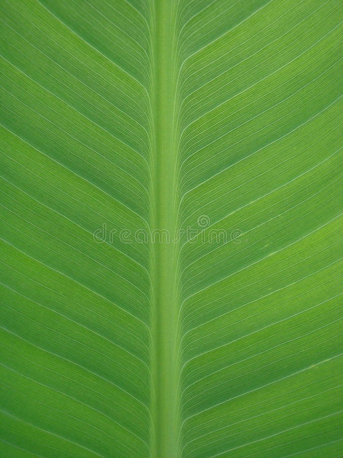 Green leave texture royalty free stock images