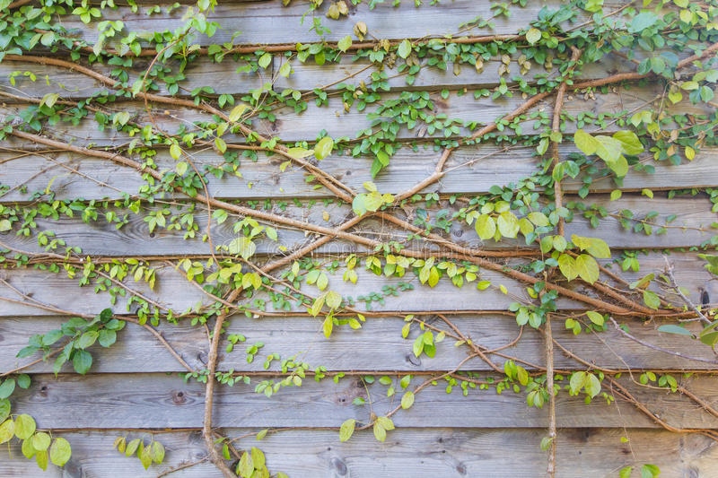 Green leave wooden wall. For background royalty free stock images