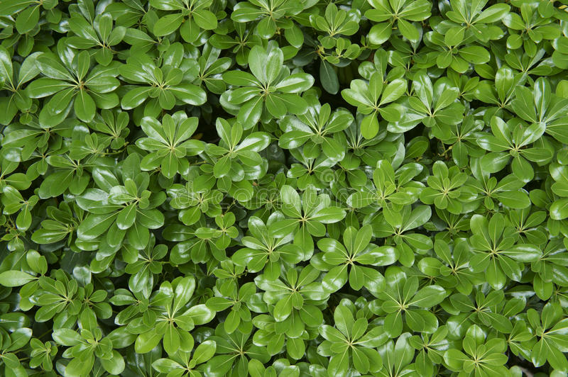 Download Green leaves stock image. Image of pattern, greenery - 24391271