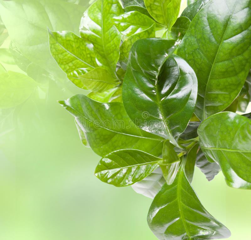 Green leaves. Lush fresh green leaves border over blured background royalty free stock photo