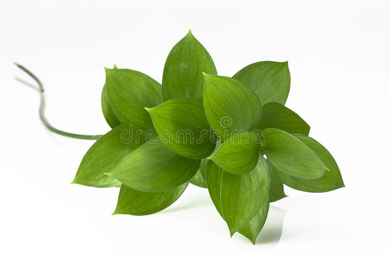 Download Green Leaves stock image. Image of isolated, growth, foilage - 26160359