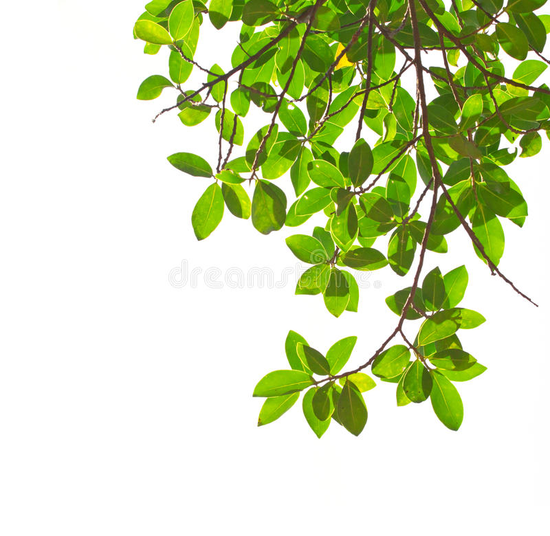 Free Green Leaves Stock Images - 28887204