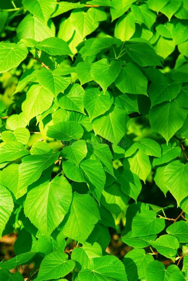 Download Green leaves stock image. Image of botany, leaf, linden - 3049945