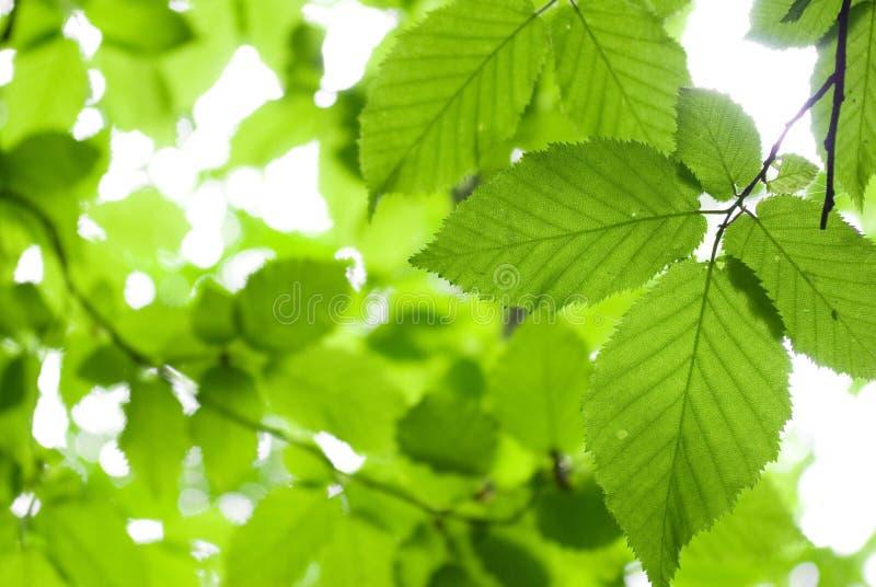 green leaves royaltyfri fotografi