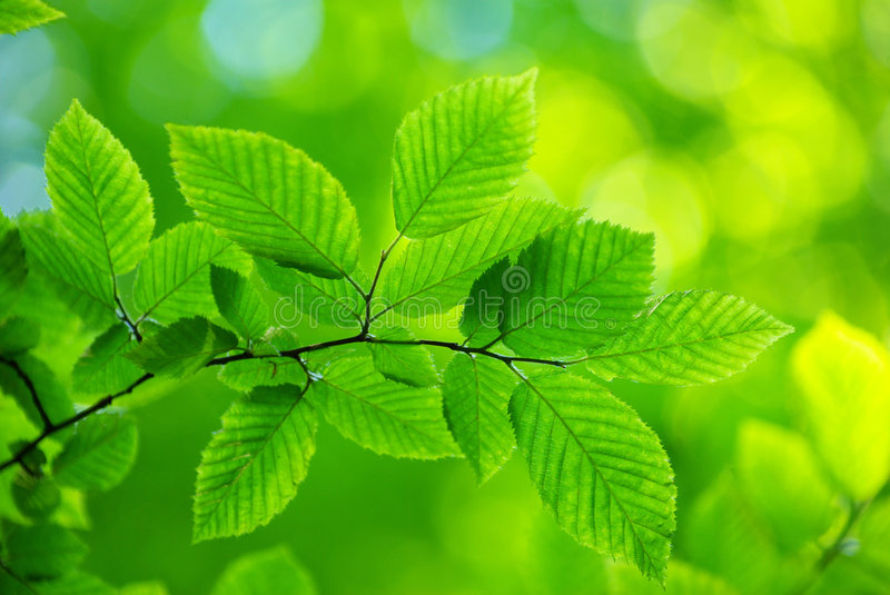 Download Green Leaves Royalty Free Stock Images - Image: 5393939