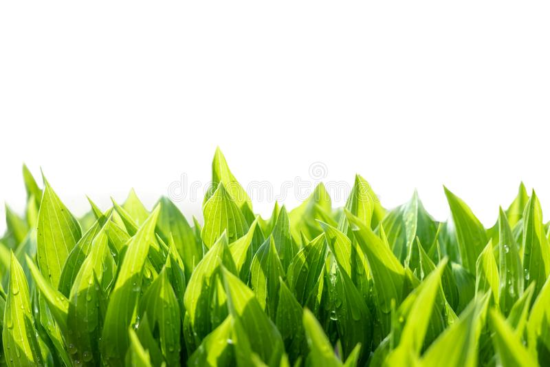 Green leaves abstract background. Natural fresh growing greenery isolated on white royalty free stock photography