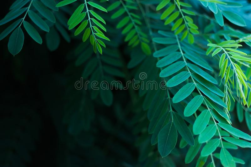 Green leaves of acacia in the sunlight royalty free stock photo