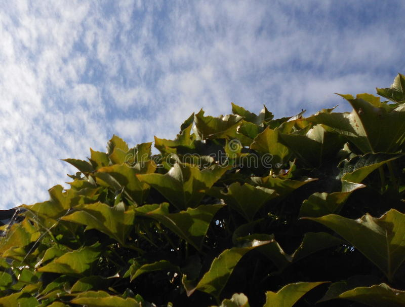 Green leaves against the sky royalty free stock image