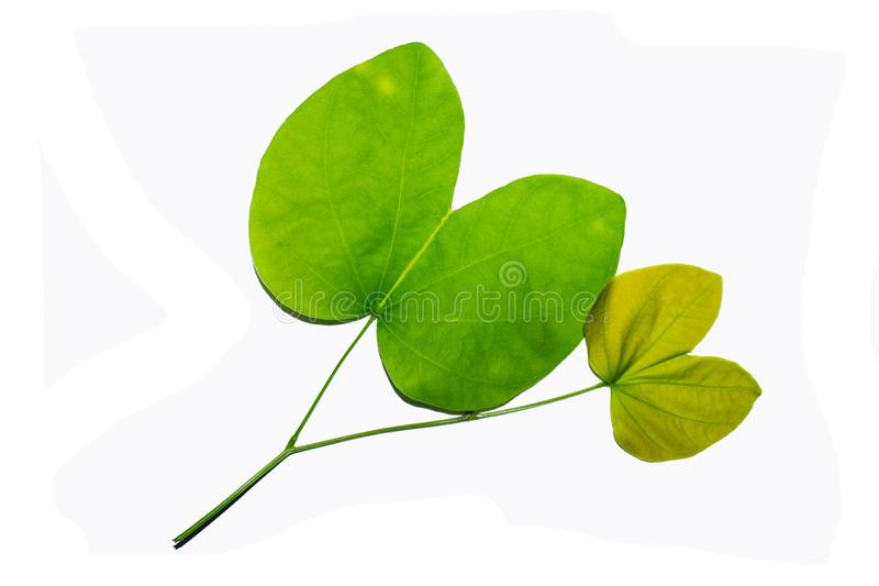 Green leaves against a white background. Intersecting with a white background royalty free stock photography