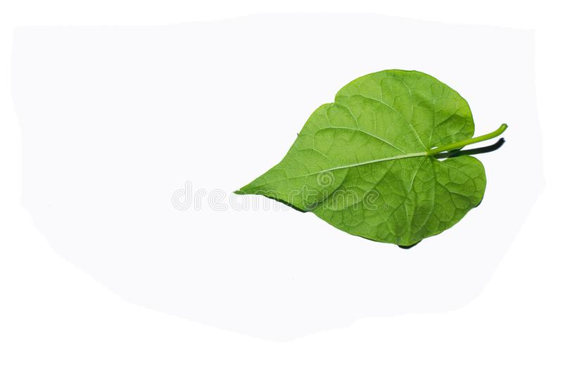 Green leaves against a white background. The green leaves look refreshing. Intersecting with a white background stock photos
