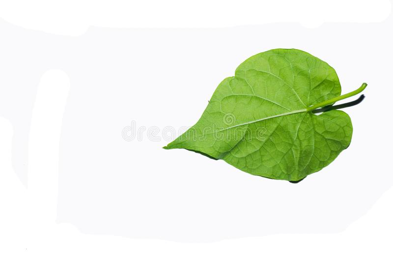 Green leaves against a white background. The green leaves look refreshing. Intersecting with a white background royalty free stock images