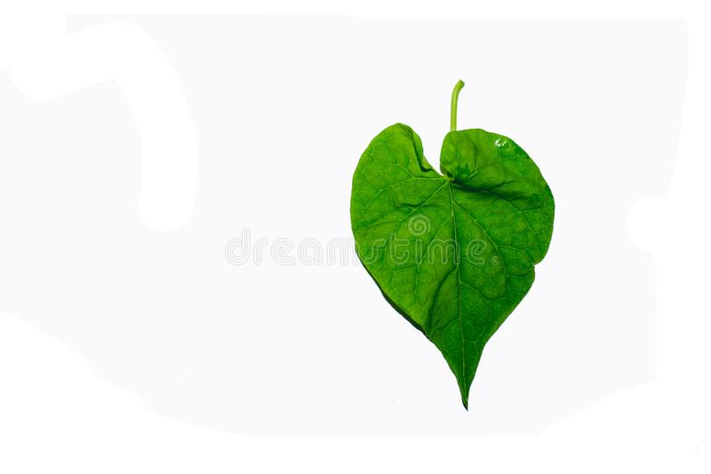 Green leaves against a white background. The green leaves look refreshing. Intersecting with a white background royalty free stock image