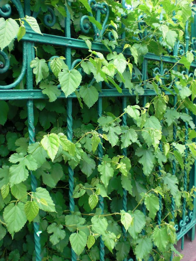 Free Green Leaves And Green Fence Royalty Free Stock Image - 26146606