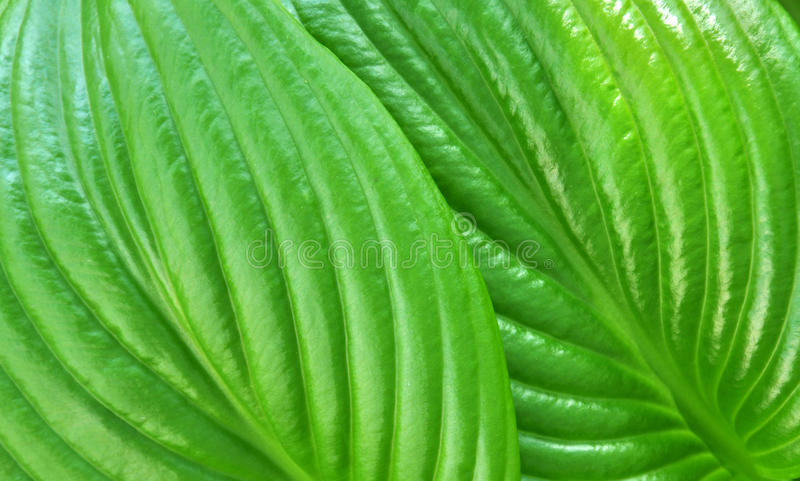 Green leaves as background. Green leaves such as background stock image