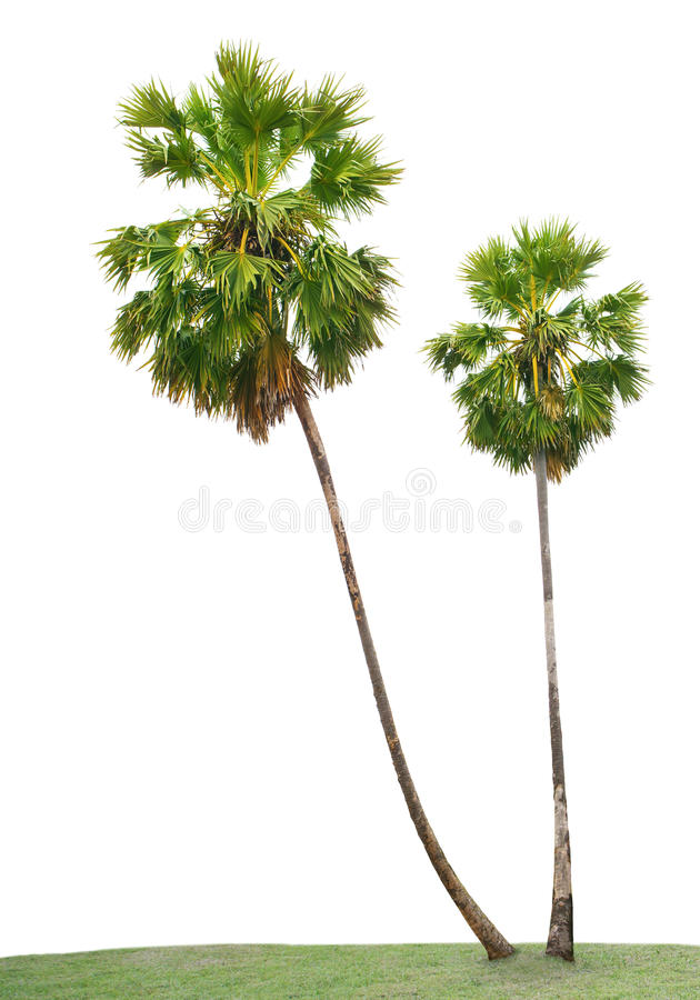 green leaves of Asian Palmyra palm, Toddy palm, Sugar palm, Cambodian palm, on green grass field isolated white background use royalty free stock images