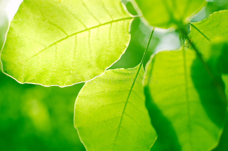 Green leaves backgrond royalty free stock image