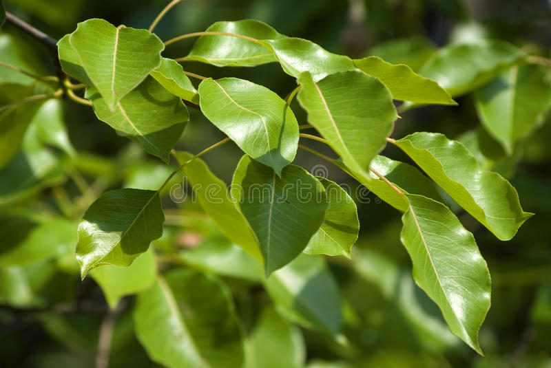 Green leaves for background royalty free stock photos