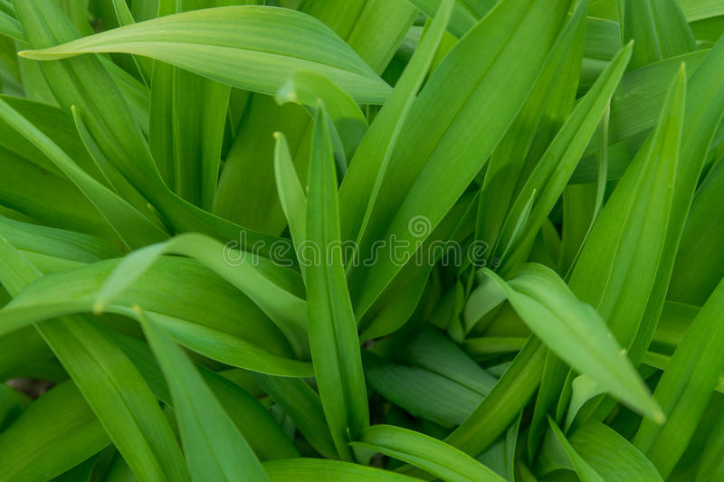 Green leaves background. For advertising royalty free stock image