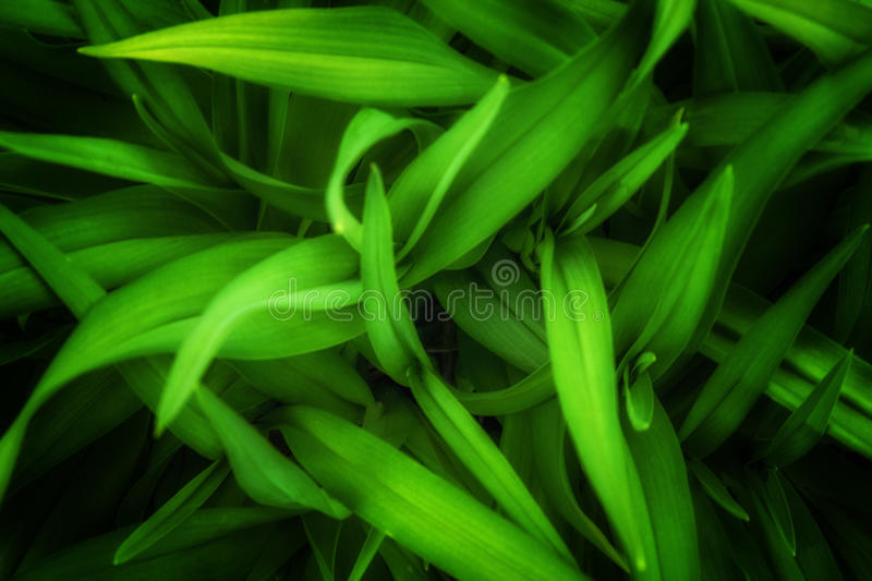 Green leaves background. For advertising royalty free stock photography
