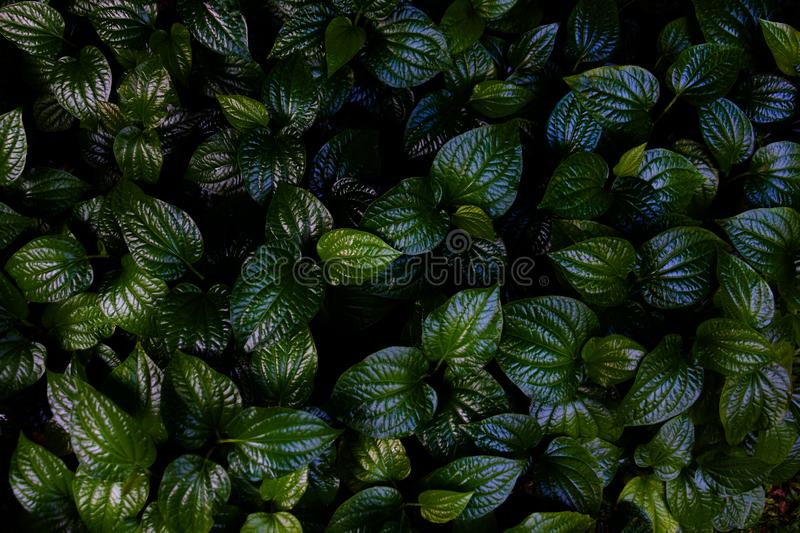 Green leaves background.Green leaves color tone dark  in the morning. Tropical Plant in Thailand,environment,good air,fresh.photo concept nature and plant royalty free stock image