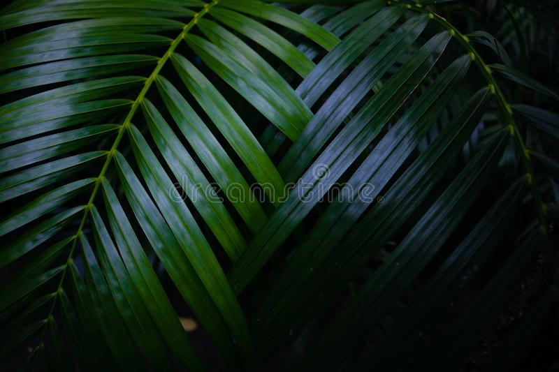 Green leaves background.Green leaves color tone dark  in the morning. Tropical Plant in Thailand,environment,good air,fresh.photo concept nature and plant stock photo