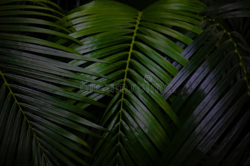 Green leaves background.Green leaves color tone dark  in the morning. Tropical Plant in Thailand,environment,good air,fresh.photo concept nature and plant stock images