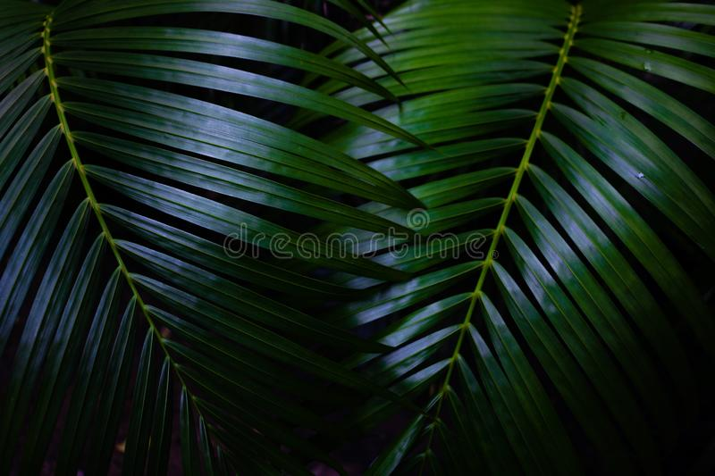 Green leaves background.Green leaves color tone dark  in the morning. Tropical Plant in Thailand,environment,good air,fresh.photo concept nature and plant royalty free stock images