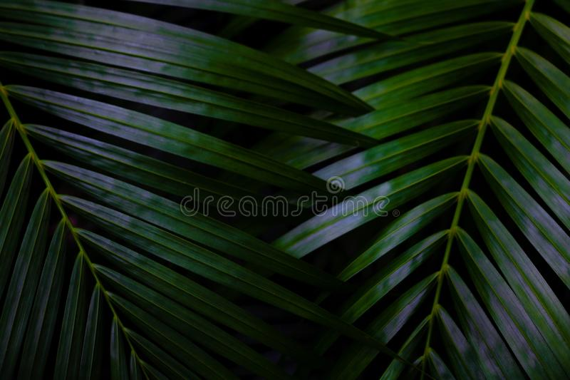 Green leaves background.Green leaves color tone dark  in the morning. Tropical Plant in Thailand,environment,good air,fresh.photo concept nature and plant royalty free stock photos