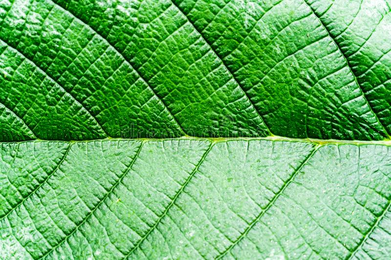 Green leaves background. Leaf texture Dark green foliage stock image