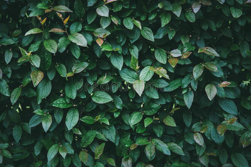 Green leaves background. Nature and organic foliage close up abstract texture royalty free stock photo