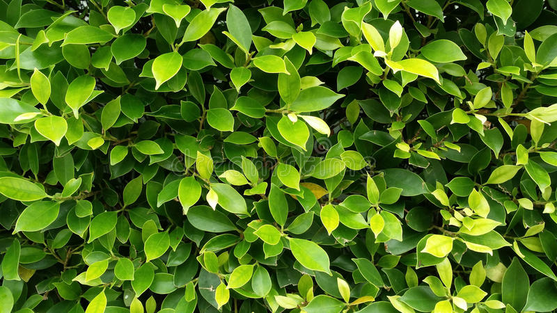 Green leaves background, texture leaves of tree, tree leaves is royalty free stock images