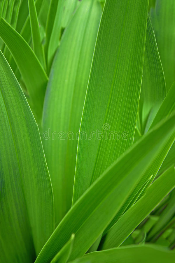 Green Leaves for Background. Green leaves for use as a background , for industries such as health , gardening , medical and plantation royalty free stock photos