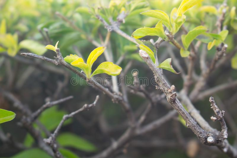 Green leaves background. Verbenaceae, Goldandewdrop, Pigeon berry, Sky flower, Duranta erecta L.,Duranta repens L stock photos