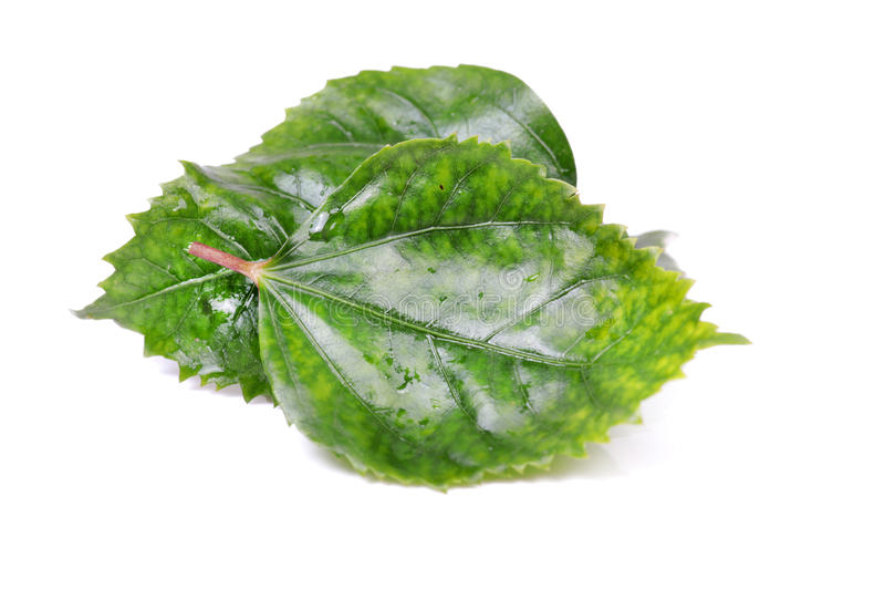 Green leaves stock photos