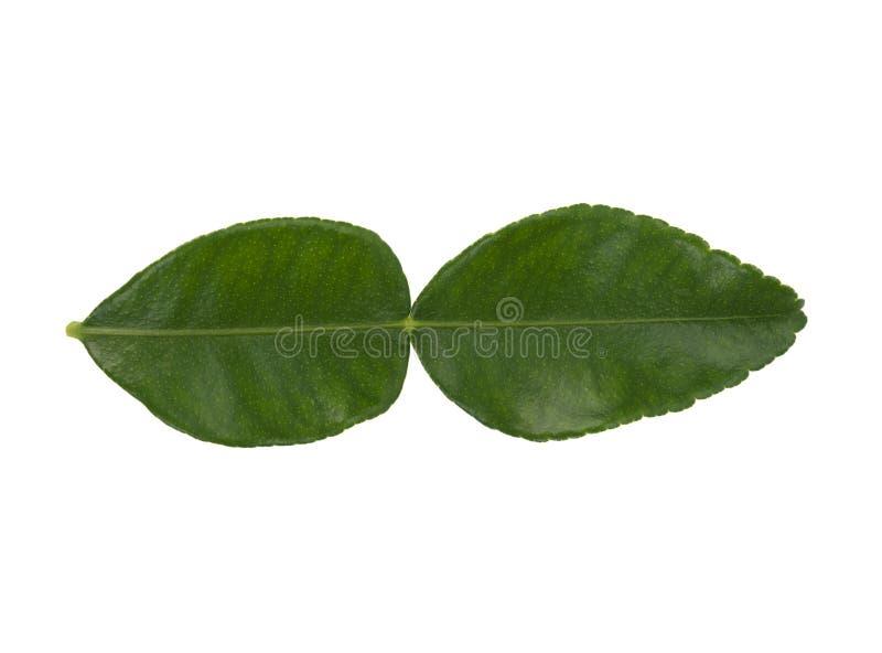 Green leaves, bergamot leaves, isolated on white background. Green leaves, bergamot leaves, isolated on a white background stock photography
