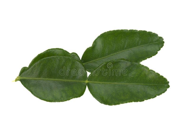 Green leaves, bergamot leaves, isolated on white background. Green leaves, bergamot leaves, isolated on a white background stock photos