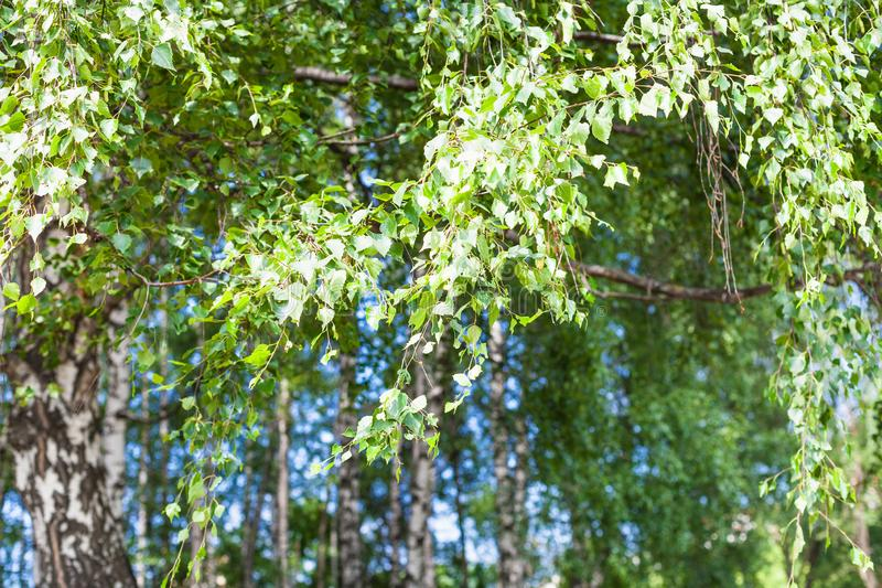 Green leaves of birch tree in grove in forest stock image