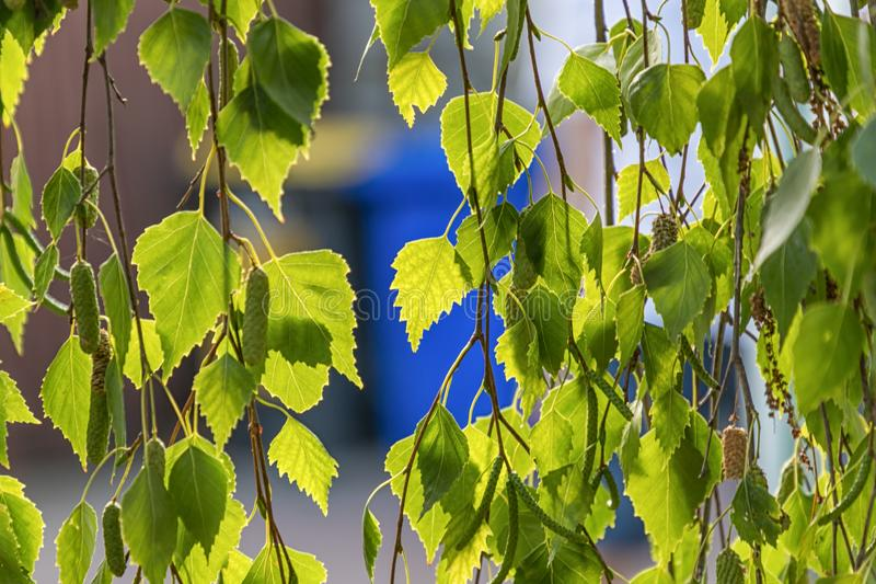 Beautiful green leaves of birch tree in the evening light. Green leaves of birch tree in the evening light stock photo
