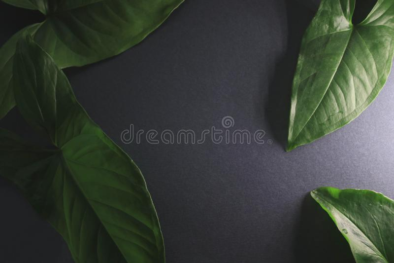 Green leaves on black background under light stock photo