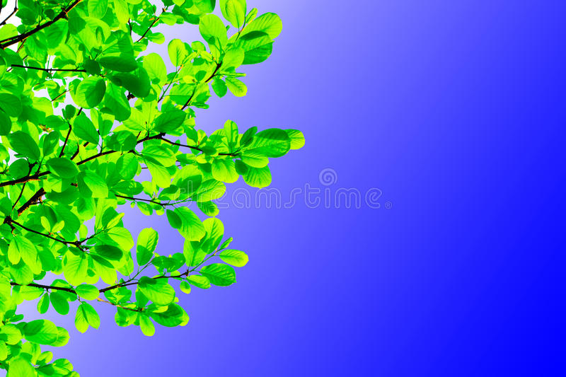 Green leaves in the blue sky stock photos