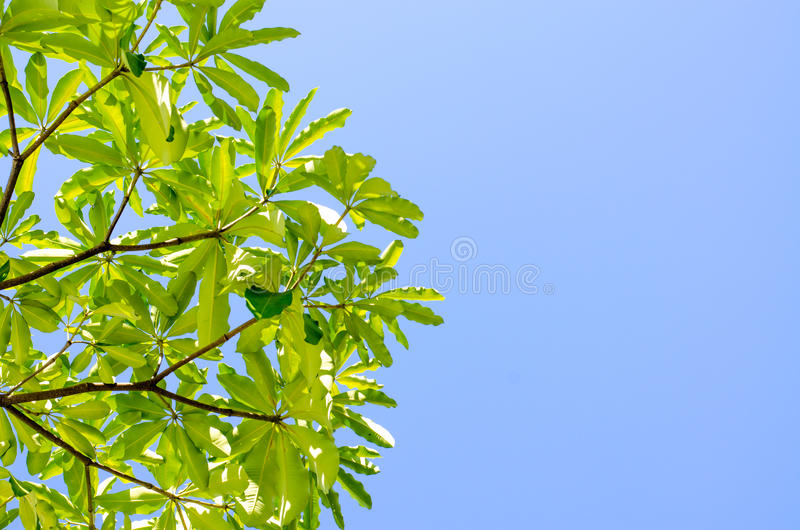 Green leaves and blue sky in noon. The Green leaves and blue sky in noon stock photography