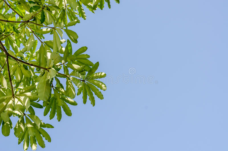 Green leaves and blue sky in noon. The Green leaves and blue sky in noon stock photos