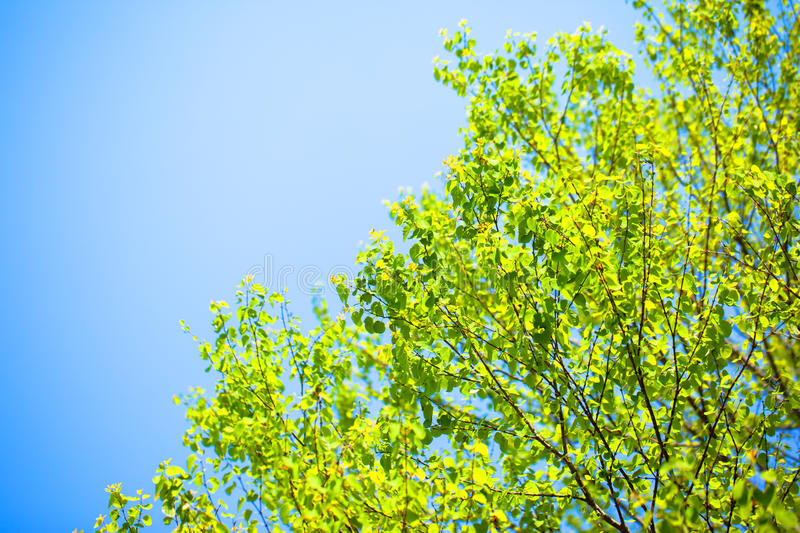 Green leaves and blue sky summer.  royalty free stock image