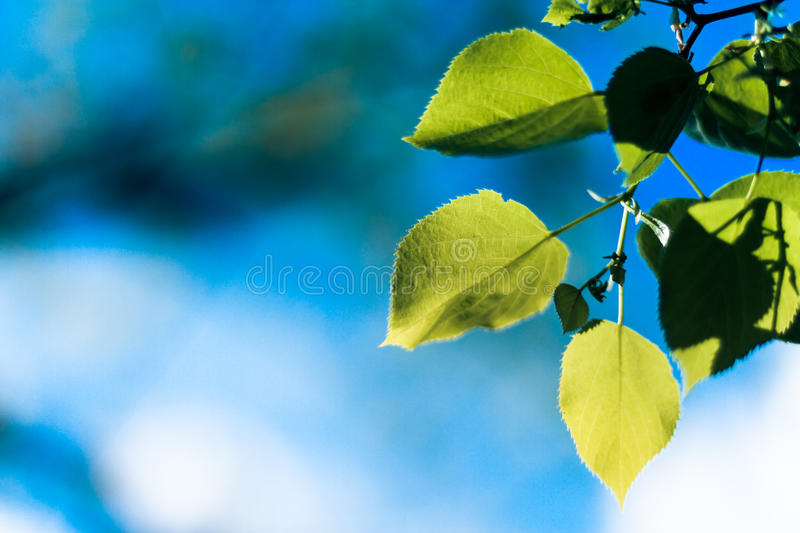 Green Leaves and blue sky. Green leaves and sunny sky royalty free stock photography