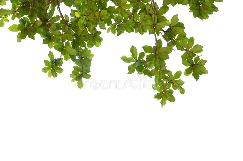 Green Leaves border on top of frame isolated white stock images
